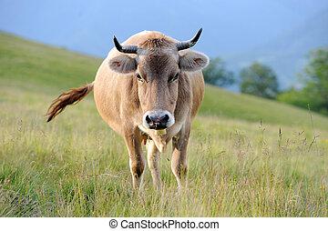 vacas, verão, prado