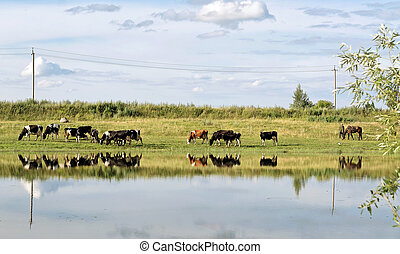 vacas, verano, pasto