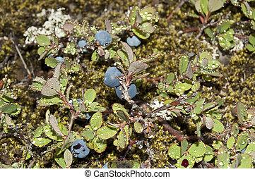(vaccinium, sumpf, uliginosum), heidelbeere
