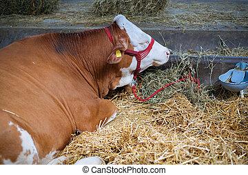 vache, écurie