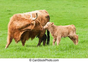 vache, champ, vert, baisers, région montagneuse, veau