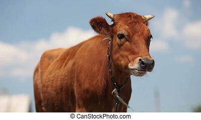 vache, directement, surprisingly, regarder, appareil photo, mastication