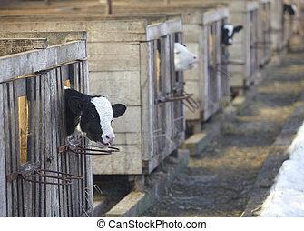 vache lait, ferme, bovin, agriculture