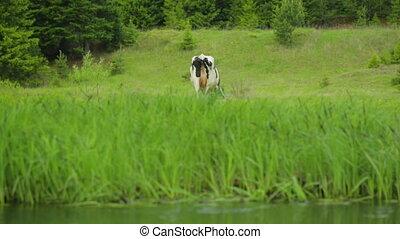 vache, pré, pâturage