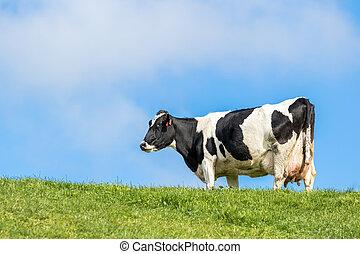 vache, pregnant
