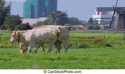 vache, sur, a, ferme
