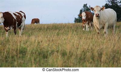 vache, troupeau, une, vaches, blanc, stand