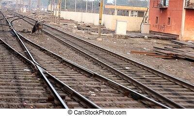 vache, wanders, indien, train, devant, railways.