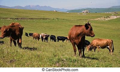 vaches, agriculture, falaise, sky., concept, noir, clair, ...