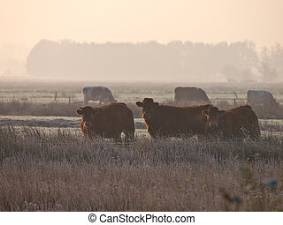 vaches, brume