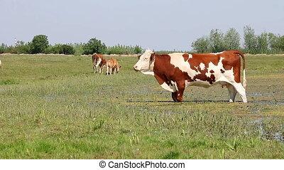 vaches, champ