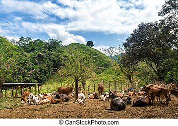 vaches, collines vertes