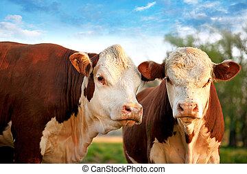 vaches, curieux, deux