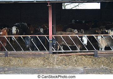vaches, curieux