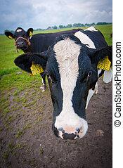 vaches, curieux, pré, hollandais