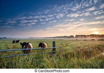 vaches, et, taureau, sur, pâturage, à, levers de soleil