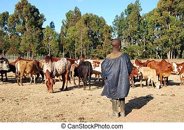 vaches, gardien, tanzanie, -, afrique