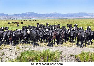 vaches, groupe, pré, pâturage