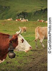vaches, herbe, vert