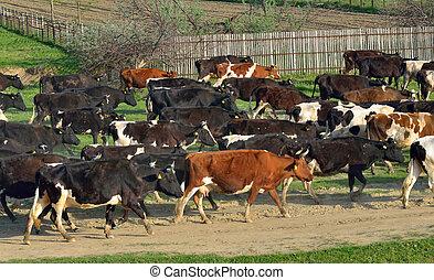 vaches, maison, aller