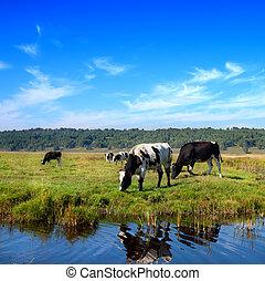 vaches, pâturage, pré, troupeau