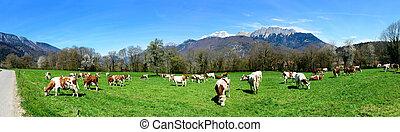 vaches, pré