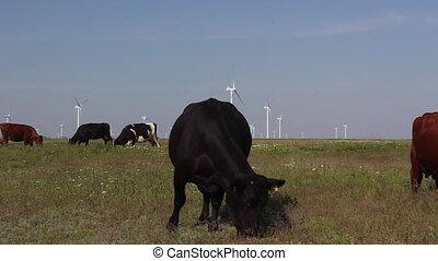 vaches, pré vert, pâturage