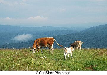 vaches, sur, a, pré