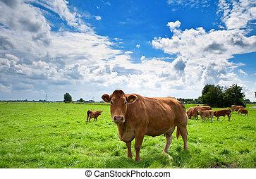 vaches, sur, cultures