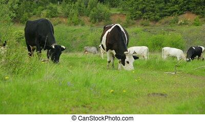 vaches, troupeau, pré, pâturage
