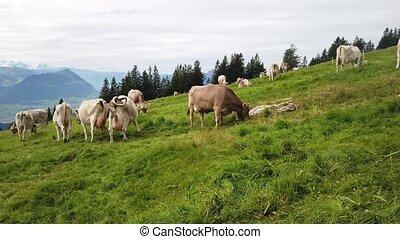 vaches, troupeau, suisse