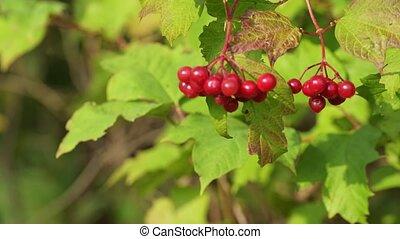 vaciller, branche, rouges, day., ensoleillé, baies, viburnum., vent