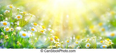 vacker, beskaffenhet scen, med, blomning, chamomiles, in, sol blossar