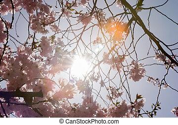 vacker, beskaffenhet scen, med, blomning, mandel träd