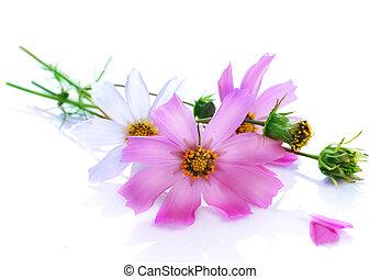 vacker, blomningen, över, vit