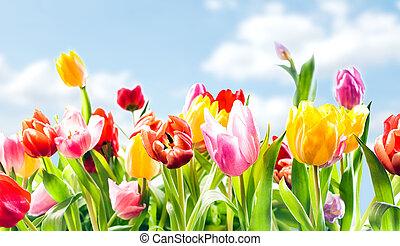 vacker, botanisk, bakgrund, av, fjäder, tulpaner