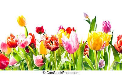 vacker, fjäder, bakgrund, av, färgglatt, tulpaner