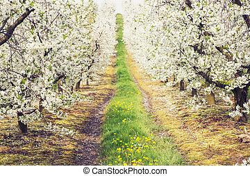 vacker, fjäder, in, den, körsbär, fruktträdgård