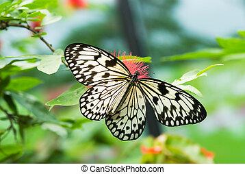 vacker, fjäril
