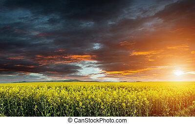 vacker, jättestor, canola, fält, stormmoln, för