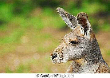 vacker, känguru