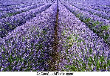 vacker, lavenderfält, landskap, med, dramatisk himmel