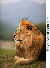 vacker, lejon, djur, vild, stående, manlig