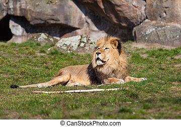 vacker, lejon, lejon, Stående