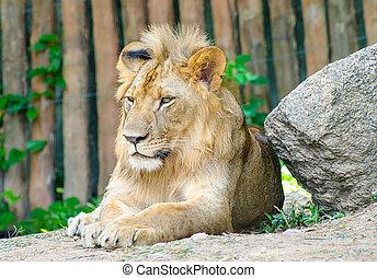vacker, lejon, manlig