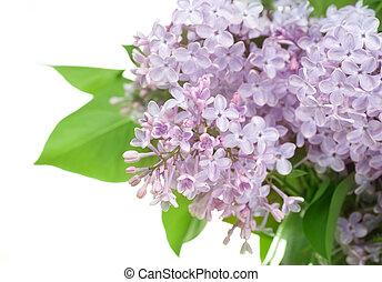 vacker, lila, blomningen, över, vit
