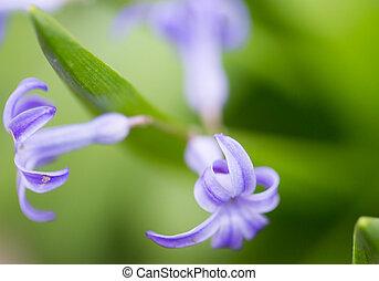 vacker, liten, blå blommar, in, nature., makro