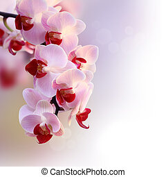 vacker, orkidé, purpur, och, vit