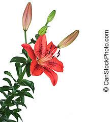 vacker, röd, lilja, blomma, över, vit