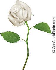 vacker, ro, vit, illustration